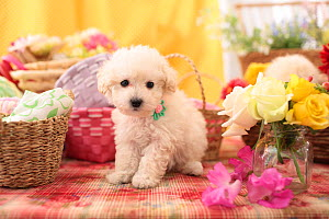 Toy poodle puppy among baskets and flowers. - Aflo
