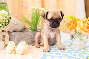 Pug puppy indoors with flowers.  -  Aflo