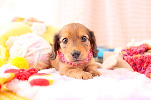 Miniature dachshund puppy indoors with frilly necklace.  -  Aflo