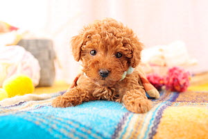 Toy poodle puppy portrait. - Aflo