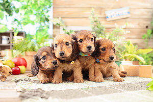 Miniature dachshund puppies sitting together. - Aflo