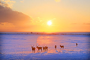 Sika deer (Cervus nippon) herd walking in snow at sunset, Hokkaido, Japan. - Aflo