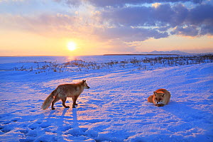 Red fox (Vulpes vulpes) in snow at sunset, Hokkaido, Japan.  -  Aflo