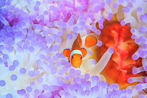 Ocellaris clownfish (Amphiprion ocellaris) in bleached anemone, Iriomote Island, Japan. - Aflo