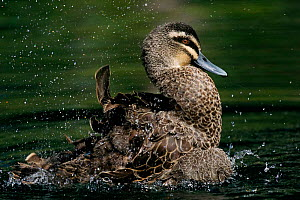 Pacific black duck (Anas superciliosa) bathing in water, Australia. - Aflo