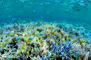 Underwater view of coral reef with fish, Okinawa, Japan. August. - Aflo