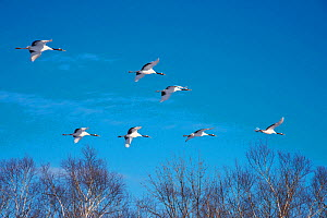 Japanese cranes (Grus Japonensis) group in flight, Hokkaido, Japan.  -  Aflo