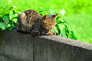 Stray cat resting on wall, Fukushima, Japan. - Aflo