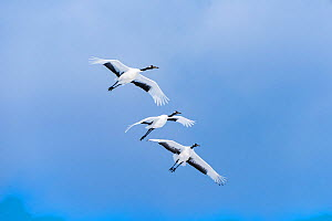 Japanese cranes (Grus Japonensis) three in flight, Hokkaido, Japan.  -  Aflo