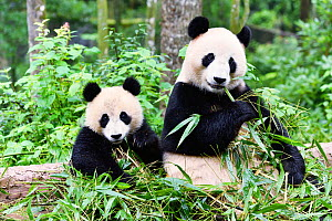 Giant panda (Ailuropoda melanoleuca) mother and cub, Sichuan Giant Panda Centre, Sichuan, China. - Aflo