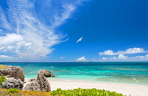 Terns in flight, Komaka Beach, Okinawa, Japan. - Aflo