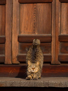 Stray cat stretching out, Aichi-ken, Chubu, Japan. - Aflo