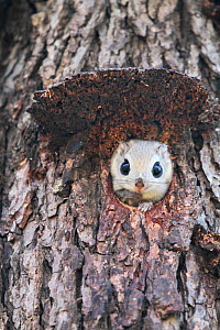 Japanese dwarf flying squirrel (Pteromys momonga) looking out of hole in tree, Hokkaido, Japan. - Aflo