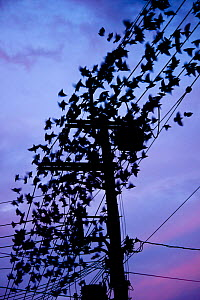 Grey starling (Sturnus cineraceus) large group roosting on telephone wires at sunset, Japan. - Aflo