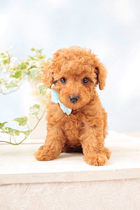 Toy poodle puppy with pale blue bow. - Aflo