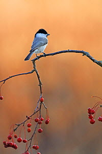 Marsh tit (Poecile palustris) perched on Staff vine (Celastrus) with berries. Kushiro Town, Hokkaido, Japan. - Aflo