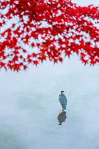 Grey heron (Ardea cinerea) staning in water with Acer in autumn colour, Lake Kinrin, Oita, Japan. November. - Aflo