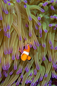 Ocellaris clownfish (Amphiprion ocellaris) in host anemoe, Papua New Guinea. - Aflo
