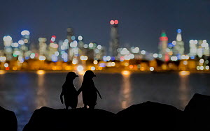 Little blue penguin (Eudyptula minor), two standing on rocks at night, silhouetted against Melbourne city lights. St Kilda breakwater, Victoria, Australia. ??December 2016. - Doug Gimesy