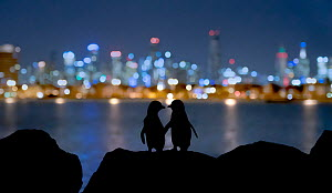 Little blue penguin (Eudyptula minor), two standing on rocks at night, silhouetted against Melbourne city lights. St Kilda breakwater, Victoria, Australia. December 2016. - Doug Gimesy