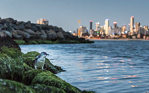 Little penguin (Eudyptula minor) standing on rocks of St Kilda breakwater, returning to nest at dusk. Melbourne city in background. Victoria, Australia. December 2016.  -  Doug Gimesy