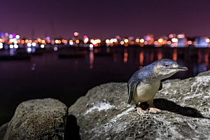 Little blue penguin (Eudyptula minor) standing on boulders of St Kilda breakwater, Melbourne city lights in background. St Kilda, Victoria, Australia. December 2016. - Doug Gimesy