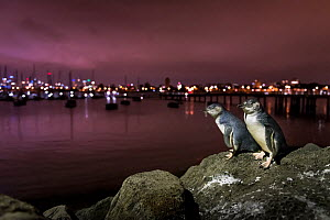 Little blue penguins (Eudyptula minor), two standing on rocks of St Kilda breakwater. Melbourne city lights in the background. Victoria, Australia. December 2016. - Doug Gimesy