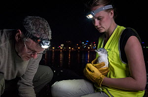 Earthcare St Kilda penguin research volunteers with Little penguin (Eudyptula minor) checking for microchip and determining sex and weight. St Kilda breakwater, Melbourne, Victoria, Australia. Novembe... - Doug Gimesy