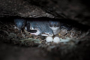 Little penguin (Eudyptula minor) pair with two eggs. In burrow between boulders of St Kilda breakwater, Melbourne, Victoria, Australia. November.  -  Doug Gimesy