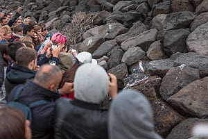 Tourist crowd photographing Little penguin (Eudyptula minor) outside burrow on St Kilda breakwater. Melbourne, Victoria, Australia. September, 2016.  -  Doug Gimesy