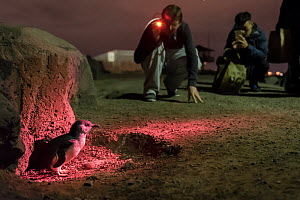 Little penguin (Eudyptula minor) lit in red light by Earthcare St Kilda guide for watching tourists. St Kilda breakwater, Melbourne, Victoria, Australia. September 2016.  -  Doug Gimesy