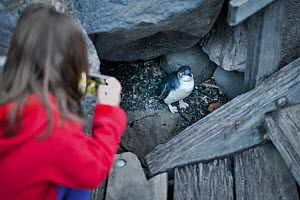 Girl photographing Little penguin (Eudyptula minor), with mobile phone. St Kilda pier, Melbourne, Victoria, Australia. ??September 2016.  -  Doug Gimesy