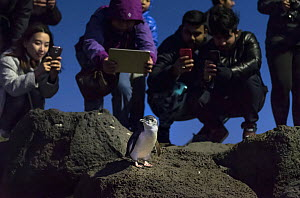 Little penguin (Eudyptula minor) on rock, tourists crowding round to take photographs. St Kilda breakwater, St Kilda Pier, Melbourne, Victoria, Australia. June 2016.  -  Doug Gimesy