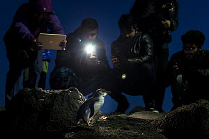 Tourists photographing Little penguin (Eudyptula minor) with flash photography, at night. St Kilda breakwater, St Kilda Pier, Melbourne, Victoria, Australia. June 2016.  -  Doug Gimesy