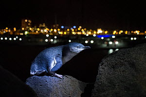 Little penguin (Eudyptula minor) standing on boulder of St Kilda breakwater at night, Melbourne skyline in background. Victoria, Australia. May 2014.  -  Doug Gimesy