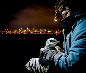 Earthcare St Kilda penguin research volunteer holding Little penguin (Eudyptula minor) after retrieving it from burrow to check for microchip and determine sex and weight. St Kilda breakwater, Melbour...  -  Doug Gimesy
