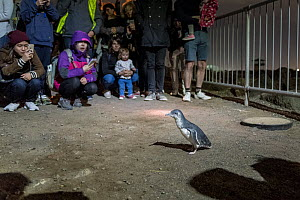 Little penguin (Eudyptula minor) on St Kilda breakwater, tourists watching and photographing. Melbourne, Victoria, Australia. May 2018.  -  Doug Gimesy