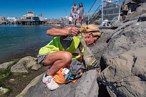 Earthcare St Kilda volunteer picking up litter from rocks around Little penguin (Eudyptula minor) breeding colony. St Kilda breakwater, Melbourne, Victoria, Australia. February 2018. Model released.  -  Doug Gimesy