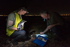 Earthcare St Kilda penguin research volunteers with Little penguin (Eudyptula minor) checking for microchip and determining sex and weight. St Kilda breakwater, Melbourne, Victoria, Australia. January...  -  Doug Gimesy