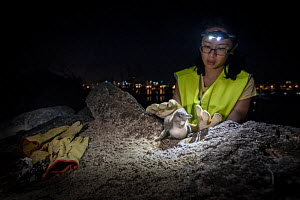 Volunteer penguin researcher from Earthcare St Kilda, placing Little penguin (Eudyptula minor) juvenile on rocks from burrow before weighing and checking for microchip. St Kilda breakwater, Melbourne,...  -  Doug Gimesy