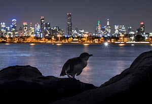 Little penguin (Eudyptula minor) on rocks of St Kilda breakwater, Melbourne city lights in background. Victoria, Australia. January 2017. - Doug Gimesy