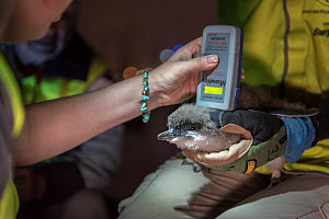 Researchers from Earthcare St Kilda scanning a moulting Little penguin (Eudyptula minor) for microchip. Population monitoring has been taking place since the 1970s. St Kilda breakwater, Melbourne, Vic...  -  Doug Gimesy