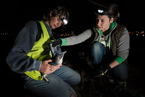 Researchers from Earthcare St Kilda scanning a moulting Little penguin (Eudyptula minor) for microchip. St Kilda breakwater, Melbourne, Victoria, Australia. December 2016. Model released.  -  Doug Gimesy