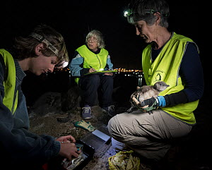 Researchers from Earthcare St Kilda preparing to microchip a moulting Little penguin (Eudyptula minor). Bill diameter will be measured to determine sex. St Kilda breakwater, Melbourne, Victoria, Austr...  -  Doug Gimesy