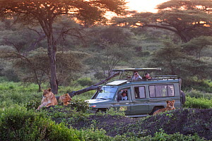 Safari truck with tourists watchiung a pride of Lions (Panthera leo) as the sun rises. Ndutu area, Serengeti National Park, Tanzania - Karine Aigner