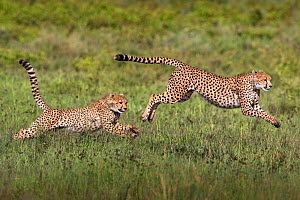 Cheetah (Acinonyx jubatus) cub chasing its mother. Serengeti National Park, Tanzania  -  Karine Aigner