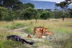 Two Lionesses and their cubs (Panthera leo) nuzzle at a kill site, Serengeti Plains, Tanzania.  -  Karine Aigner