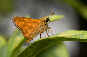 Mardon skipper butterfly (Polites mardon) on sage leaf. Oregon, USA. August. - John Shaw