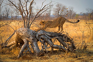 Cheetah (Acinonyx jubatus) stretches on a downed tree. Zimbabwe. September. - John Shaw