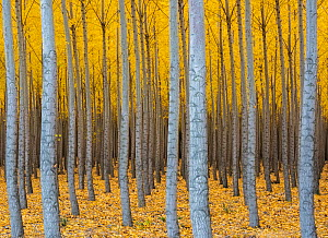 Hybrid Poplar tree plantation in autumn (Populs sp.). Boardman Tree Farm, near Irrigon, Oregon, USA. October.  -  John Shaw